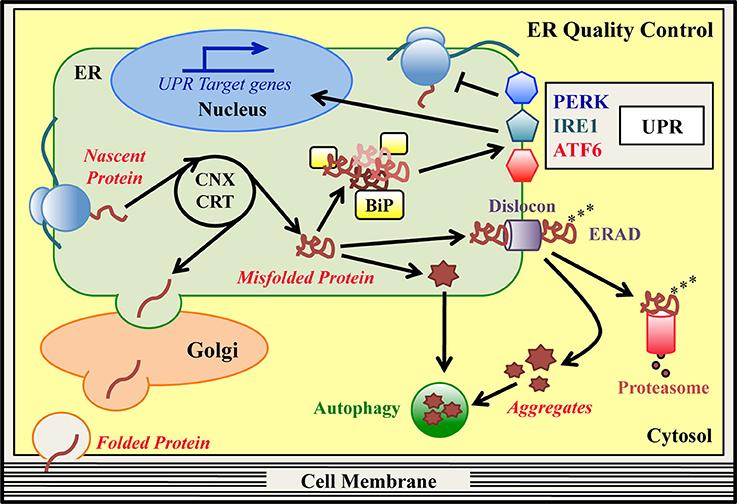 IFB-088 (Sephin1) modulazione del controllo qualità proteine